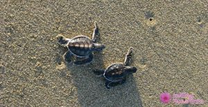 Baby turtles at Sukamade beach 300x155 7 Days Tour Itinerary To Explore Ijen Crater, Alas Purwo, Sukamade – Meru Betiri, Bromo and Madakaripura Waterfall