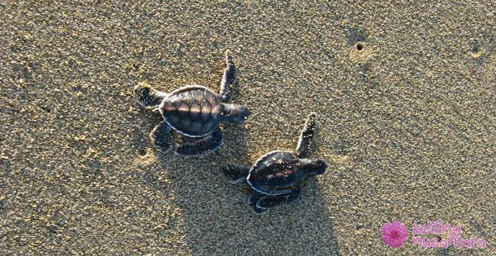 Baby turtles at Sukamade beach Sukamade Turtles Beach