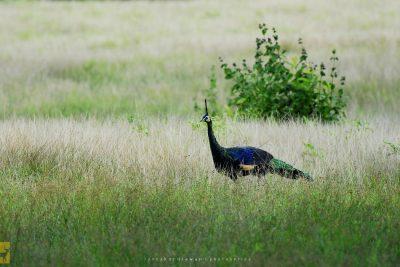 Burung Merak di Savana Sadengan Alas Purwo 400x267 Welcome