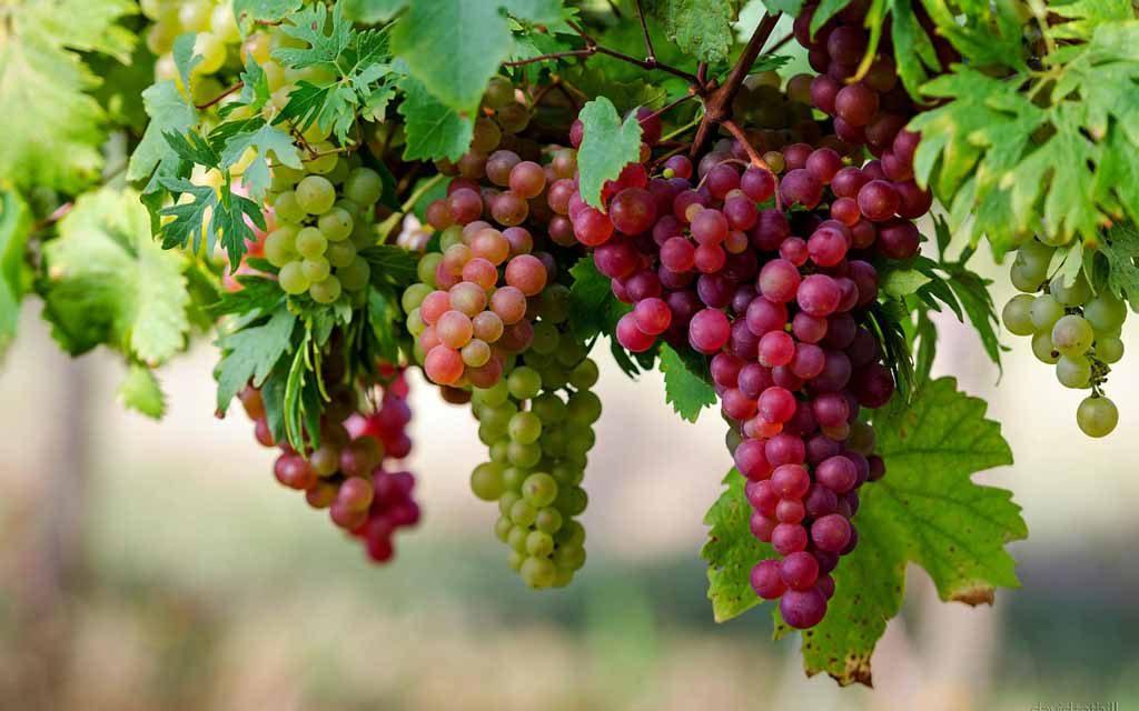 Agrowisata anggur
