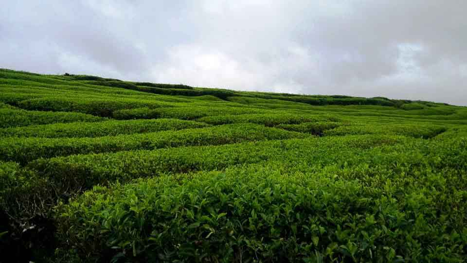 Kebun teh Alahan Panjang - Sumatera Barat