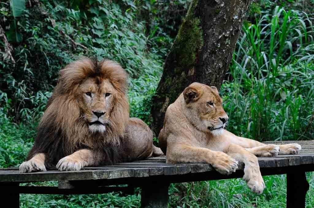 Singa di Taman Safari Prigen